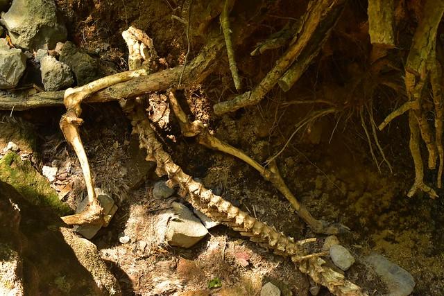 韓国岳 シカの骨