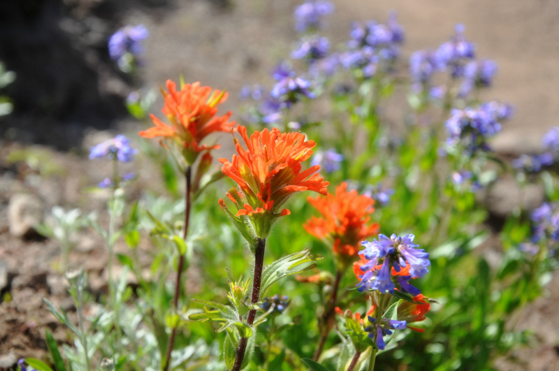 Iron Mountain Hike Indian Paintbrush @ Mt. Hope Chronicles