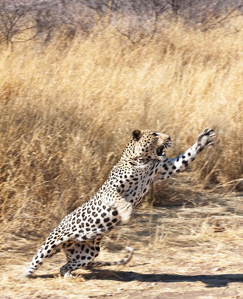 Ягуар в прыжке картинка