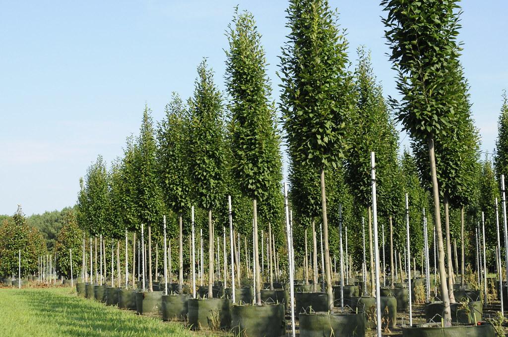 carpinus betulus 39 fastigiata 39 donna worthington williams. Black Bedroom Furniture Sets. Home Design Ideas