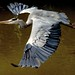 Startled! (Heron by dog, myself by heron)