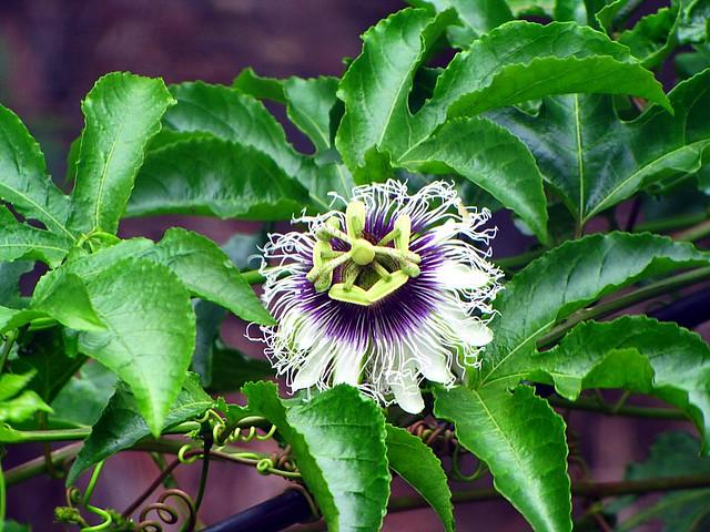 img 6231 fleur du fruit de la passion passiflore passiflora dulis ile de la r union flickr. Black Bedroom Furniture Sets. Home Design Ideas