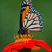 Butterflies-207