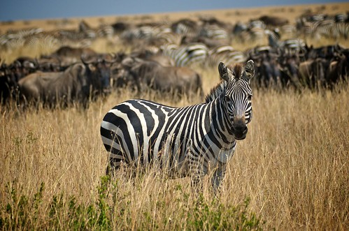 Happy Thanksgiving from a Zebra | by Dave Schreier