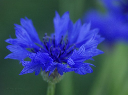 Cornflowerblue | by joeke pieters