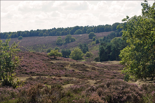 Flowering heather on the Veluwe | by Foto Martien