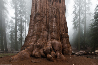 General Sherman Tree Sequoia 15mm | by mikebaird