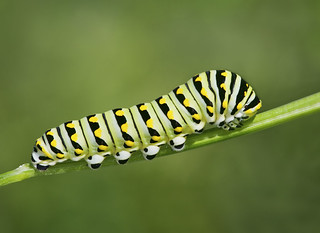 Late Instar Black Swallowtail | by J Gilbert