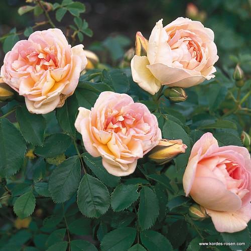 historische rose fr hlingsduft z chter w kordes 39 s hne. Black Bedroom Furniture Sets. Home Design Ideas