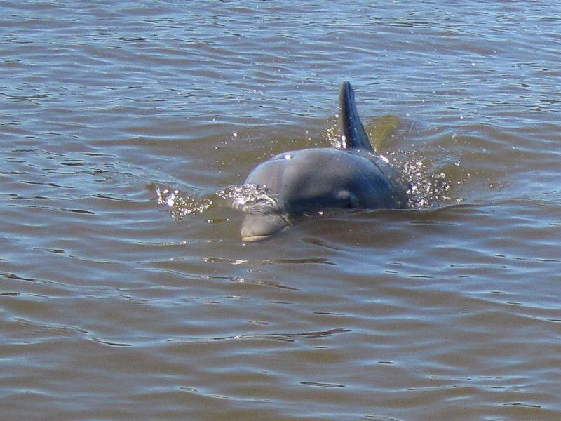 A baby dolphin (and his mom, not shown) in Indian Key Pass