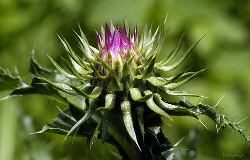 CARDO MONTANO  ( Cirsium Montanum ) | by Pier☯ * ON/OFF....VERY BUSY