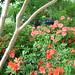 Azalea alley!  'Autumn Sunset' and 'Autumn Embers' Encore azaleas