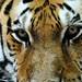 Amur Tiger - Sivaki