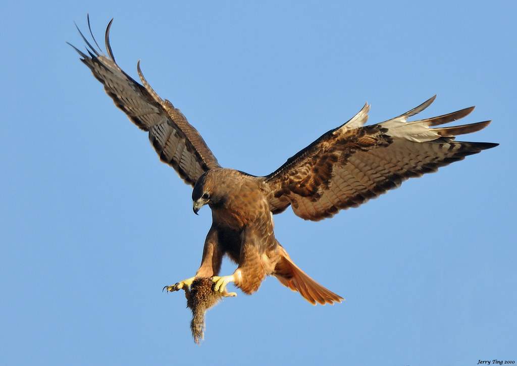 Red Tailed Hawk Rufous Morph Coyote Hills Regional