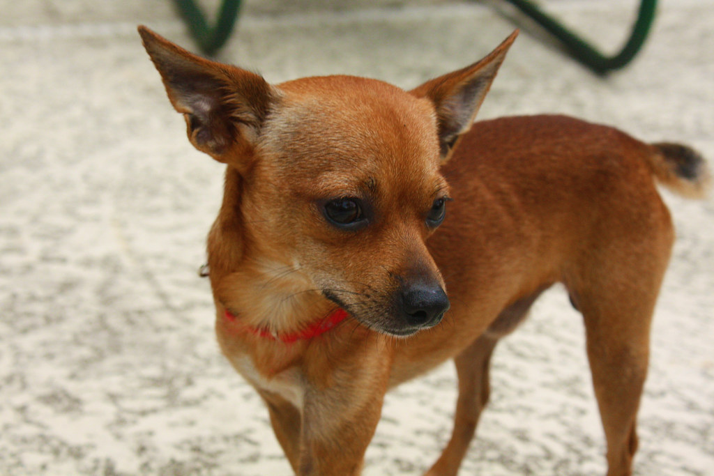 Cmv Chihuahuas Are Hideous Animals Changemyview