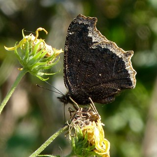 Mourning Cloak | by Dendroica cerulea
