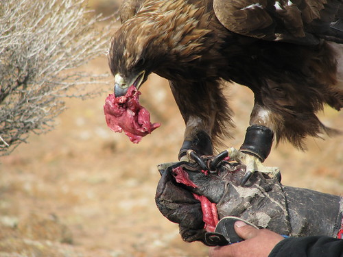 Eagle eating meat - photo#2