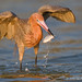 Reddish Egret with Fresh-Caught Meal