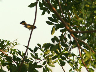 American Redstart out-of-focus 20100926 | by Kenneth Cole Schneider