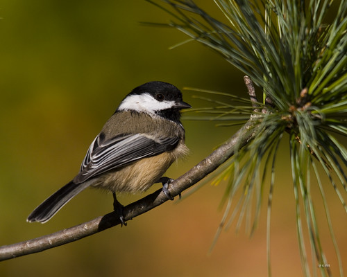 Chickadee Riverwood Park Mississauga Ontario Canada | by gashphoto