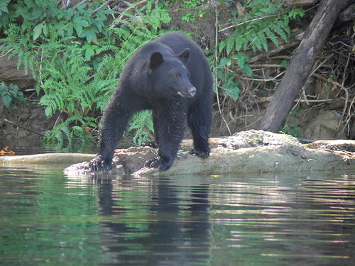 Black Bear on the Nitinat River, Fishing | by thegreatscaper