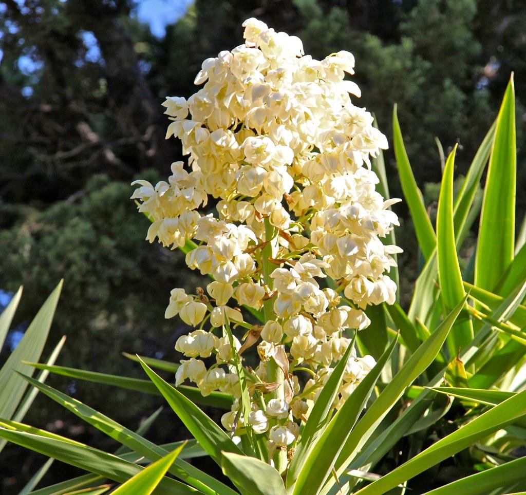 NATIONAL FLOWER FROM EL SALVADOR FLOR DE IZOTE It is unla…