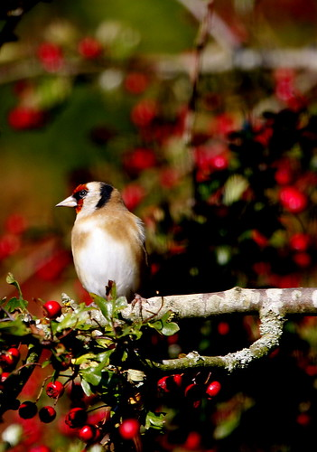 _MG_1945 Goldfinch, | by John Hitchings. Photography
