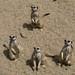 meerkats6