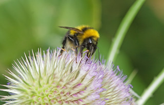 Teasel with bee 1 | by Richard Bradshaw1