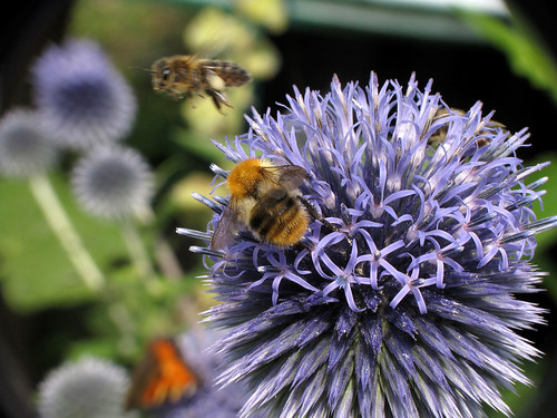 Buzzzy on the globe-thistle | by Wilma1962*