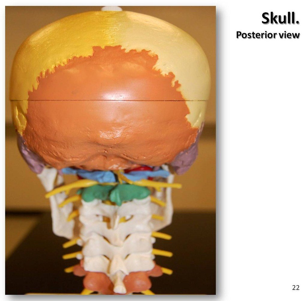Multi-colored Skull, posterior view - Axial Skeleton Visua… | Flickr