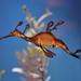 Weedy Sea Dragon - Scripps Aquarium, La Jolla