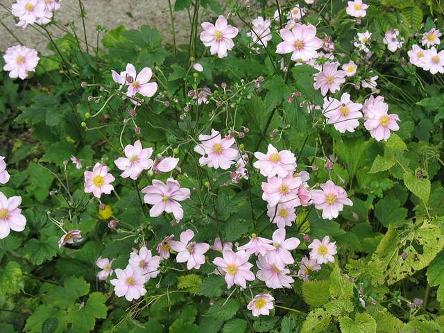 Home food gardens - Japanse Anemoon Anemone Hupehensis Arboretum