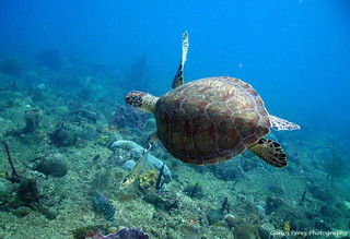 Green Turtle at El Natural Aguadilla Puerto Rico by Carlos Pérez Lugo-underwater category-shot with Sea Life DC600-SL970 wide angle lens-SL961 strobe | by Intova