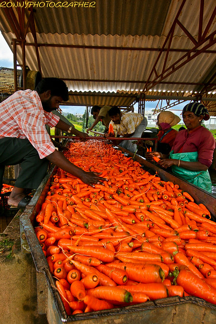 Workers clean the carrots in a farm near ooty-tamil nadu-south india ...