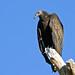IMG_4460 ImmatureTurkey Vulture