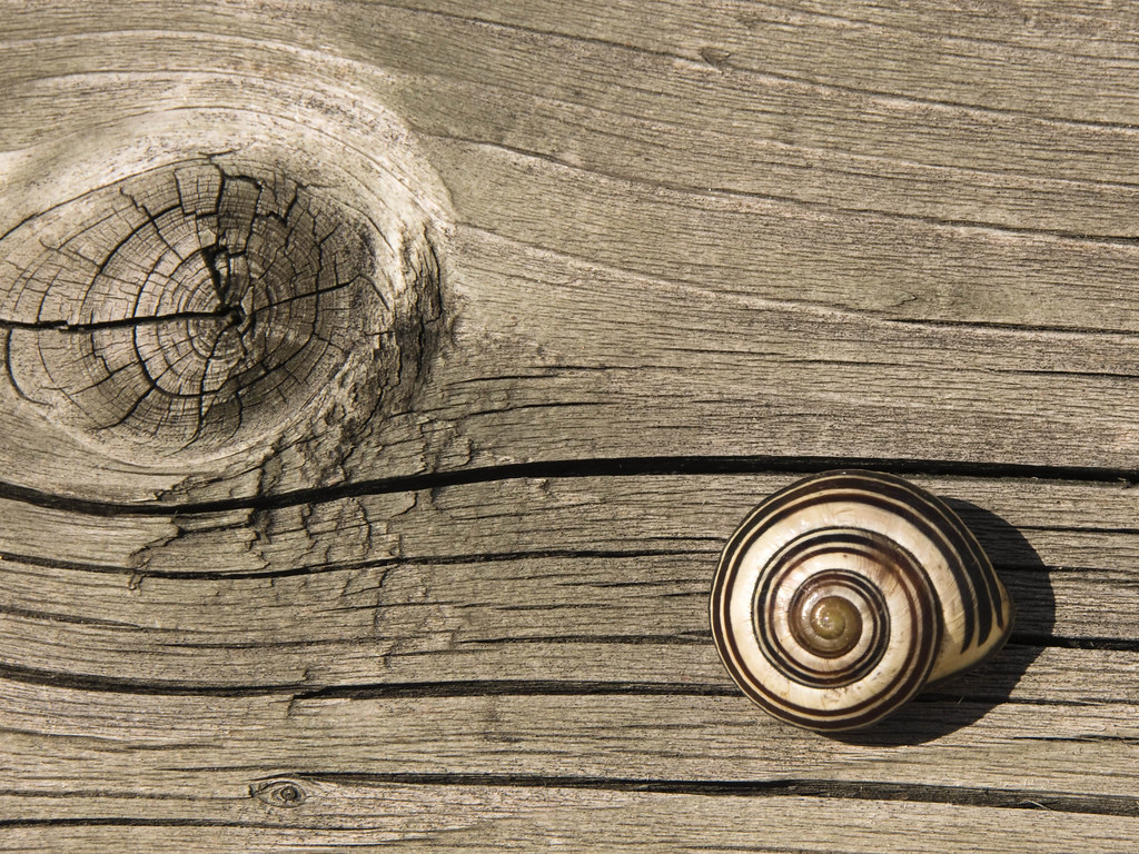 snail in my backyard spiral lines of the snail camouflag u2026 flickr