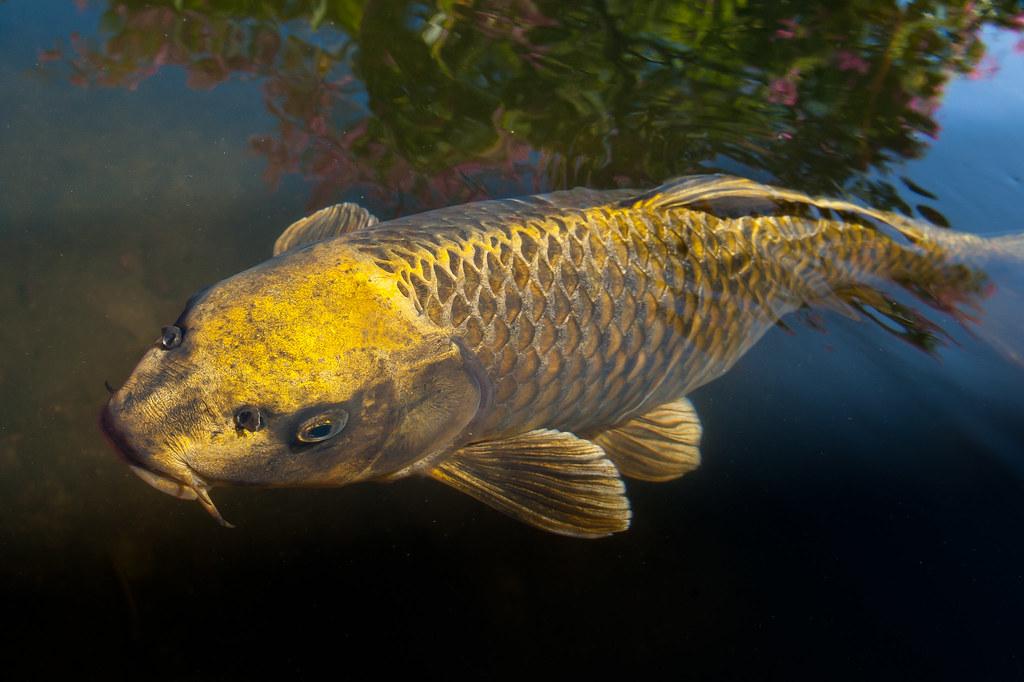 golden carp | View On Black | William Opdyke