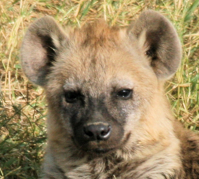 Baby Hyena: Baby Hyena Face Only