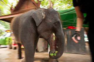 Baby Elephant Stealing Cucumbers | by goingslowly