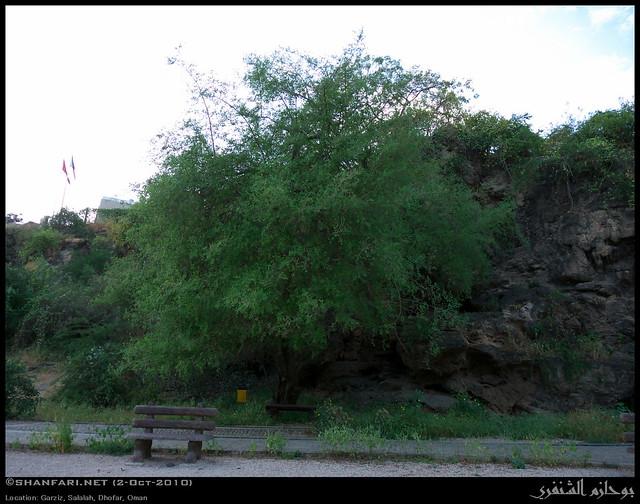 Christ 39 S Thorn Jujube Tree In Garziz Salalah Dhofar