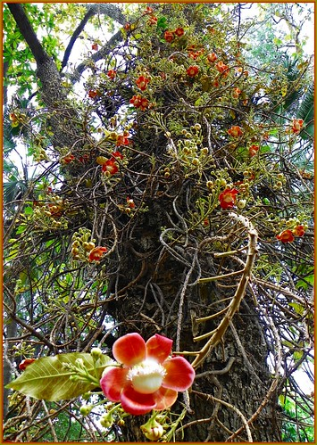Cannon ball tree -  Couroupita guaianensis | by Indianature ss2