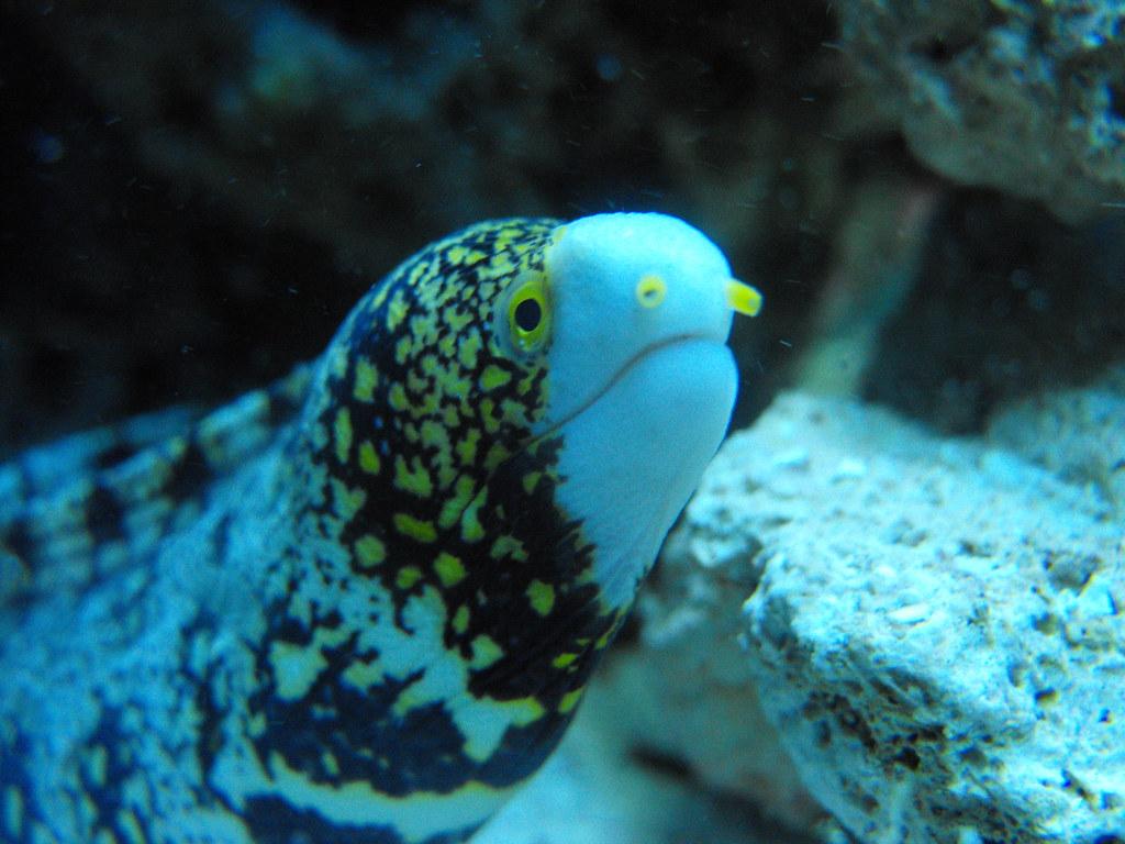 Snowflake Eel Lifespan Behavior Care Breeding Allpetsdirectory