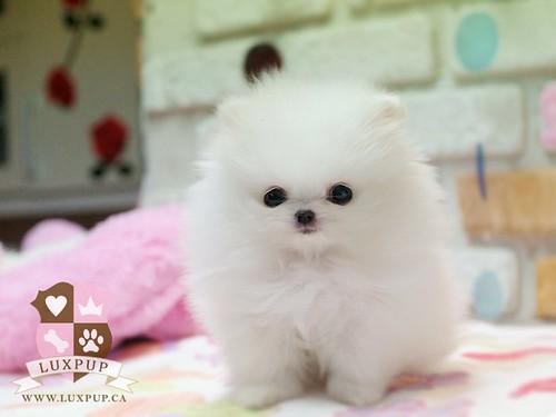 White Teacup Pomeranian Puppies Teacup white pomeranian