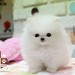 Teacup White Pomeranian