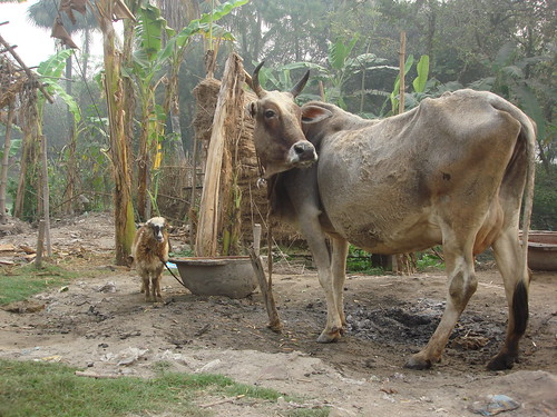 Smallholder livestock household in Berhampore Village, West Bengal, India
