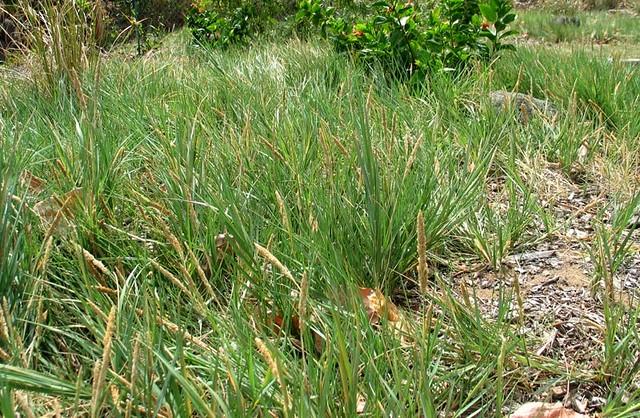 Sporobolus virginicusSporobolus Virginicus