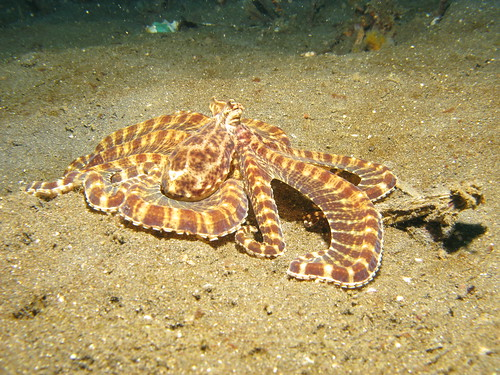 Mimic Octopus | by prilfish