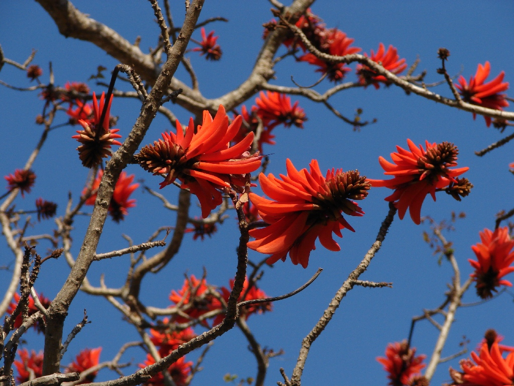 red and blue coral tree 2 photos erythrina lysistemon