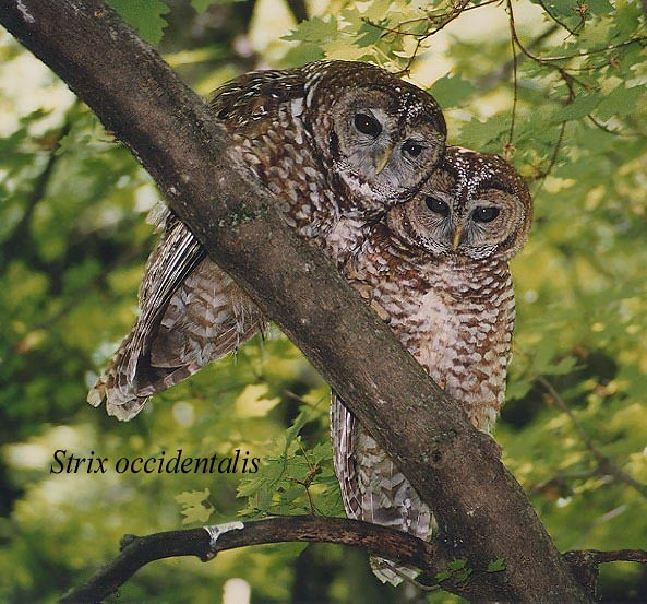 Northern Spotted Owl Habitat Destroyed By Natural Disasters